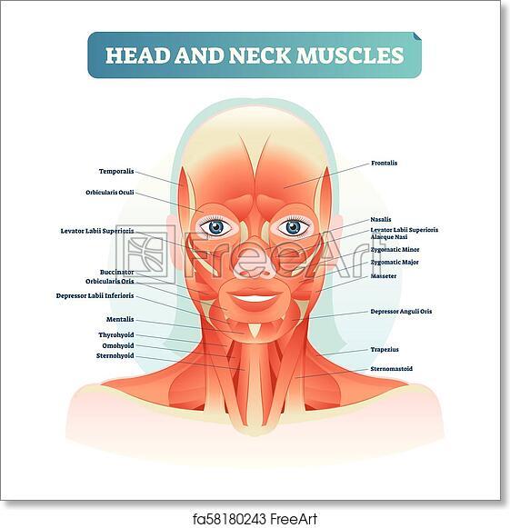 Gross Anatomy Study Guide (2013-14 Bai) - Instructor Bai ...  Labeled Neck Movements