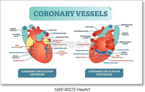 Free art print of Coronary vessels anatomical health care vector ...