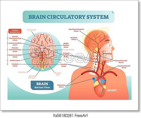Free Art Print Of Brain Circulatory System Anatomical Vector