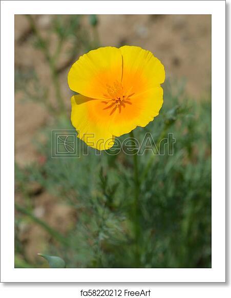 Free Art Print Of Golden Poppy Flower Close Up Of A Golden Poppy
