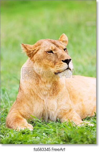 Free Art Print Of Young Lioness Lying Down In The Grass Lioness
