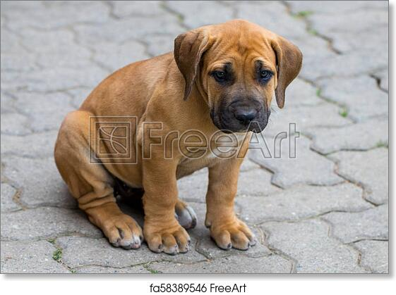 Free Art Print Of South African Boerboel Puppy The Game Outside In