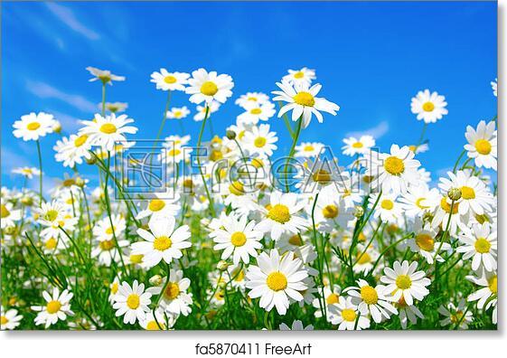 free art print of white daisies white daisies on blue sky