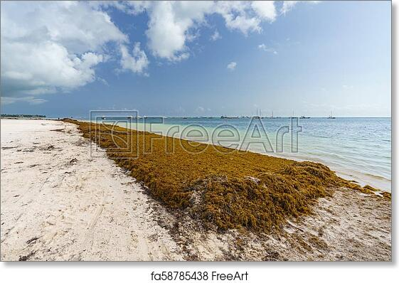 Free art print of Punta Cana, Dominican Republic - June 17, 2018: sargassum  seaweeds on the beaytiful ocean beach in Bavaro, Punta Cana, the result of