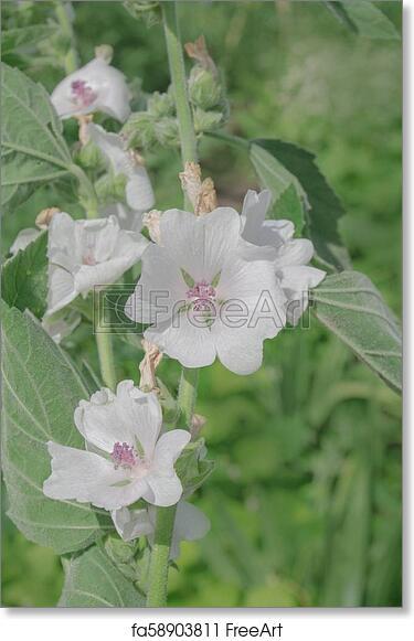 Free art print of Marsh mallow flower. Malvaceae flowers and leaves on stem. Echter Eibisch common marshmallow | FreeArt | fa58903811