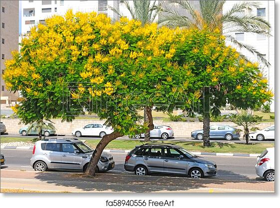 Free art print of tree peltoforum with bright yellow flowers and free art print of tree peltoforum with bright yellow flowers and small openwork leaves in the street of holon mightylinksfo
