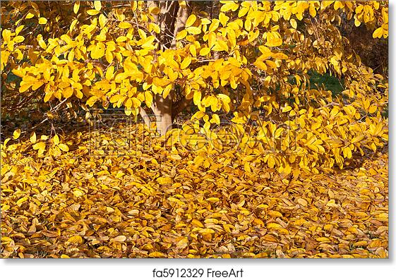 Free Art Print Of Yellow Leaves Falling Star Magnolia Tree In Autumn