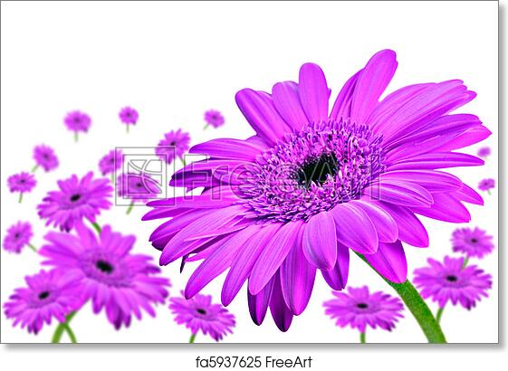 Free art print of daisy gerbera flowers on white daisey gerbera free art print of daisy gerbera flowers on white mightylinksfo