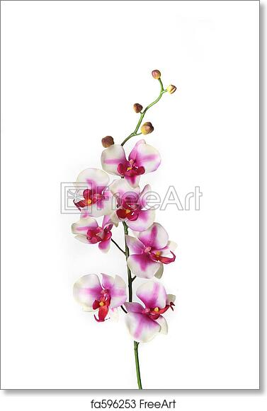 Free Art Print Of Single Stem Of Orchid Flower Branch Of White And