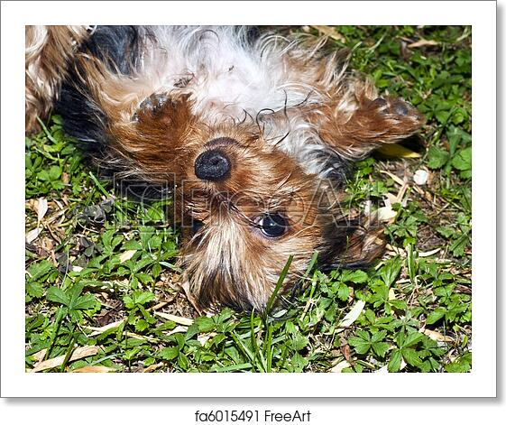Free Art Print Of Yorkie Puppies One Yorkshire Puppies Playing In