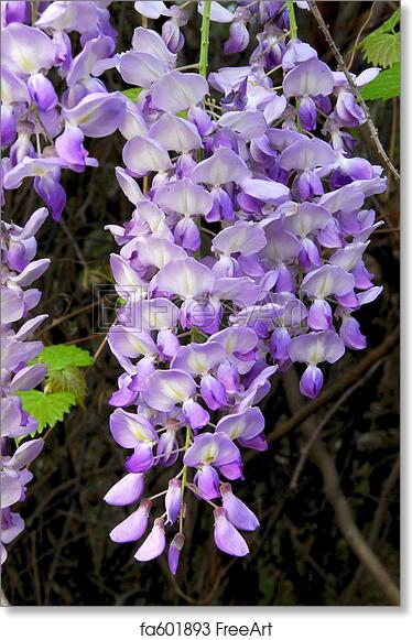 Free Art Print Of Wisteria Vine Beautiful Lavender Bloom Of A