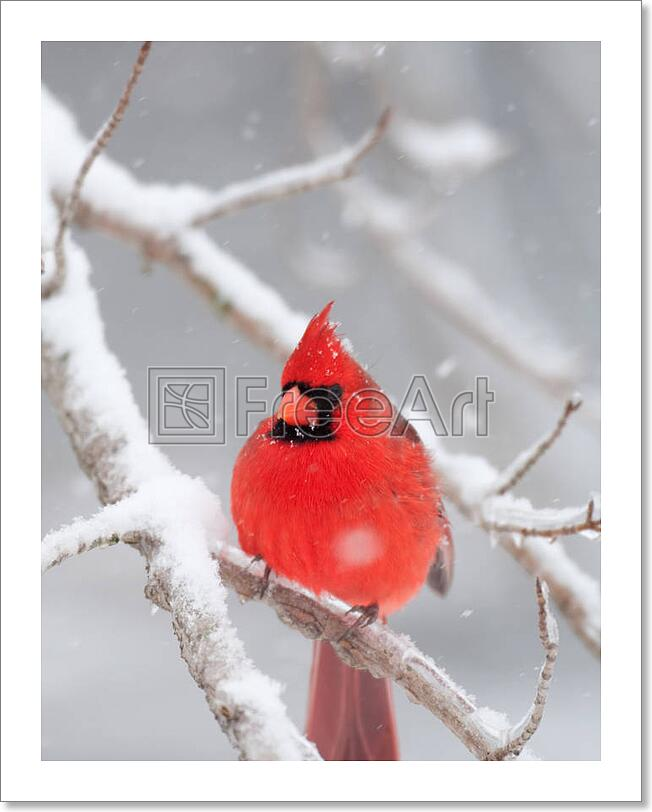 Northern Cardinal Perched On Snow Covered Art Print Home Decor Wall Art Poster Ebay