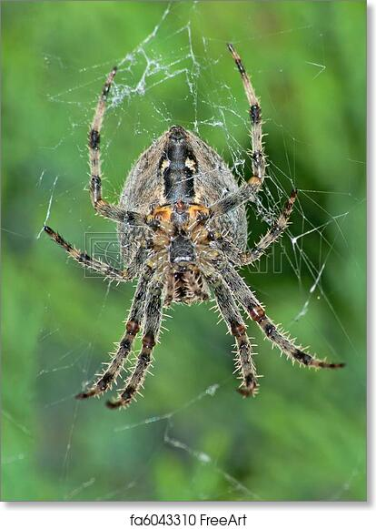 Free Art Print Of European Garden Spider