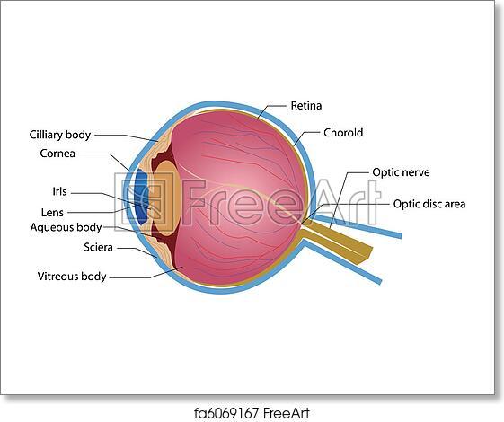 illustration of eye anatomy with label on isolated background