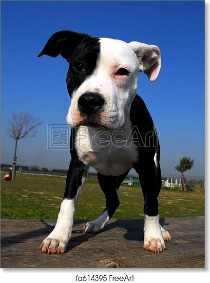 free art print of young pit bull. pup american staffordshire terrier