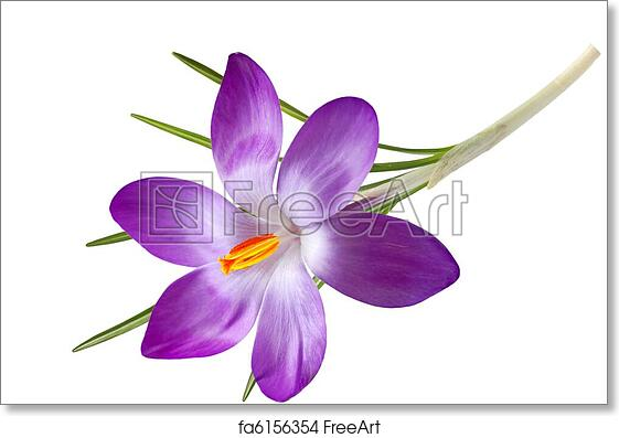 Free art print of single crocus flower purple crocus flower free art print of single crocus flower mightylinksfo