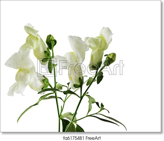 Free art print of snapdragon snapdragon flowers isolated on white free art print of snapdragon snapdragon flowers isolated on white freeart fa6175481 mightylinksfo