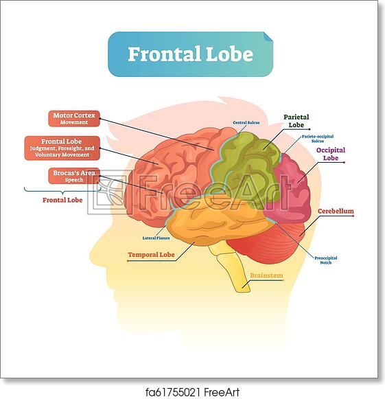 Free Art Print Of Frontal Lobe Vector Illustration Labeled Diagram