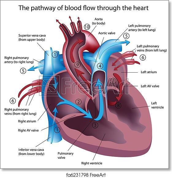 Free art print of Blood flow through the heart. Pathway of blood ...