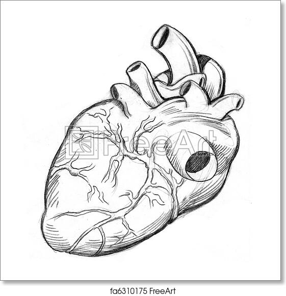 Free art print of Human Heart Drawing. An image of a human heart ...