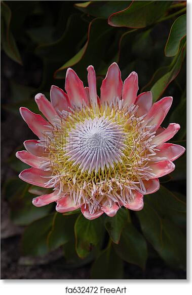 free art print of african protea south african national flower from