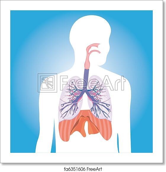 Free Art Print Of Human Respiratory System Vector Human