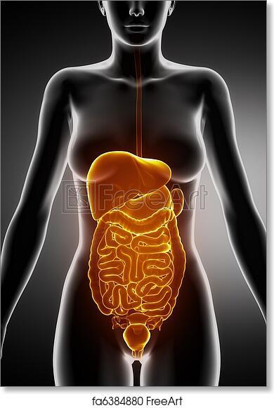 Free Art Print Of Female Abdominal Organs X Ray View Female Anatomy