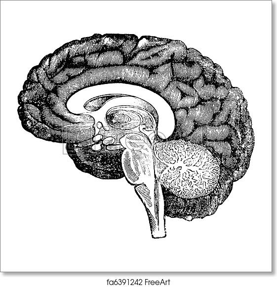 Free art print of vertical section of side view of a human brain free art print of vertical section of side view of a human brain vintage engraving ccuart