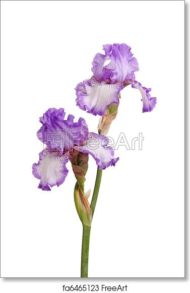 Free Art Print Of Stem Of Purple Iris Flowers Isolated On White