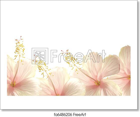 Free Art Print Of Sunlight Pink Hibiscus Flower Border Background