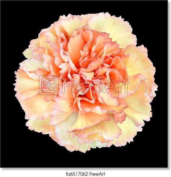 Free art print of pink yellow carnation flower isolated on black free art print of pink yellow carnation flower isolated on black mightylinksfo