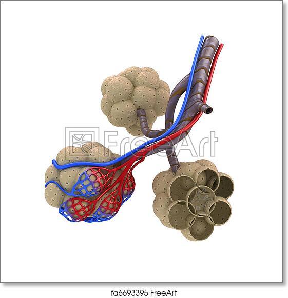 Free art print of Alveoli in lungs. Alveoli in lungs - blood ...