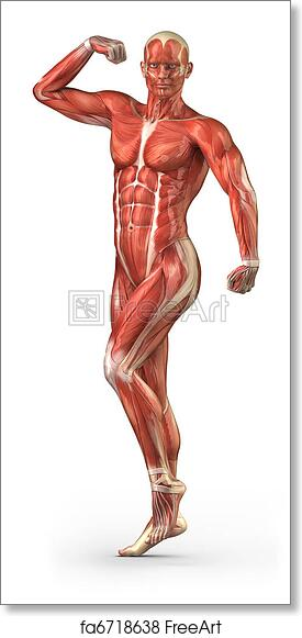 Free Art Print Of Man Muscular System Anterior View In Body Builder