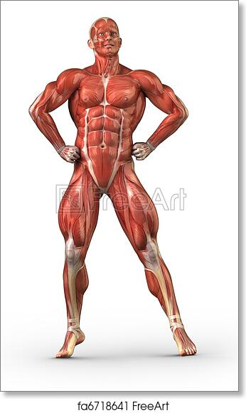 Free art print of Man muscular system anterior view in body-builder ...
