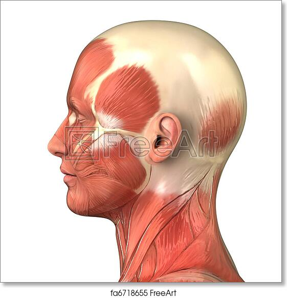 Free art print of Head muscular system anatomy right lateral view ...