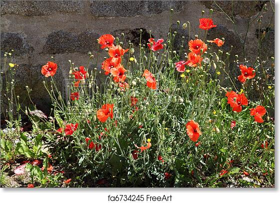 Free Art Print Of Red Flanders Poppies A Vivid Bush Of The Wild Red