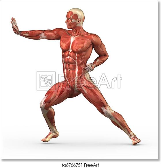 Free Art Print Of Male Muscular System In Fight Position Anatomy Of