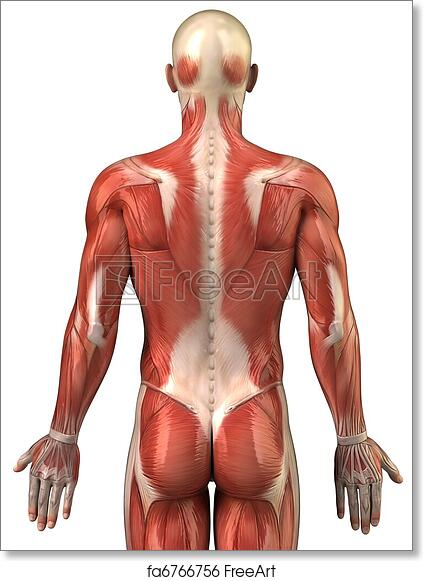 Free art print of Man back muscular system posterior view. Anatomy ...