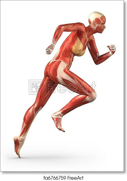 free art print of running woman muscular system anatomy lateral, Muscles