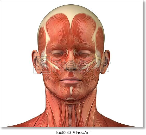 Free art print of Facial muscular system anatomy front anterior view ...