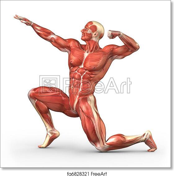 Free Art Print Of Man Muscular System Anatomy Human Muscle Anatomy