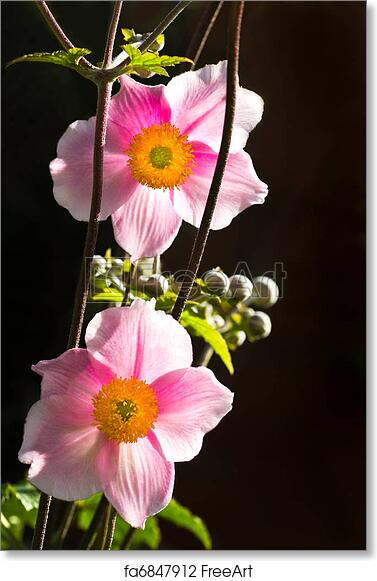 Free art print of backlight anemone japonica or japanese anemone free art print of backlight anemone japonica or japanese anemone flowers mightylinksfo