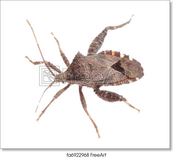 Free Art Print Of Insect Stink Bug Insect Stink Bug Isolated On