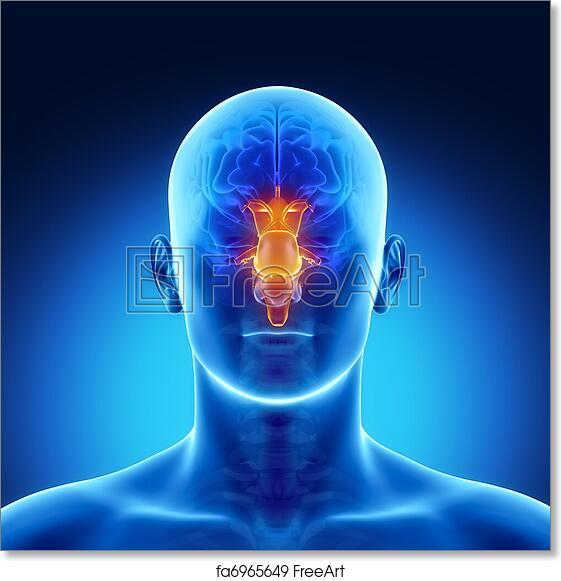 Free Art Print Of Stem In Male Brain Part Anatomy Male Anatomy Of