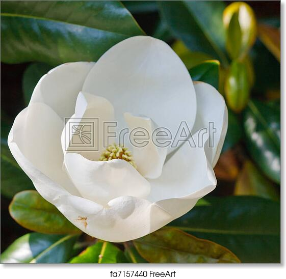 Free art print of Budding White Magnolia Bloom in Tree. A white magnolia blossom just opening up in a tree | FreeArt | fa7157440