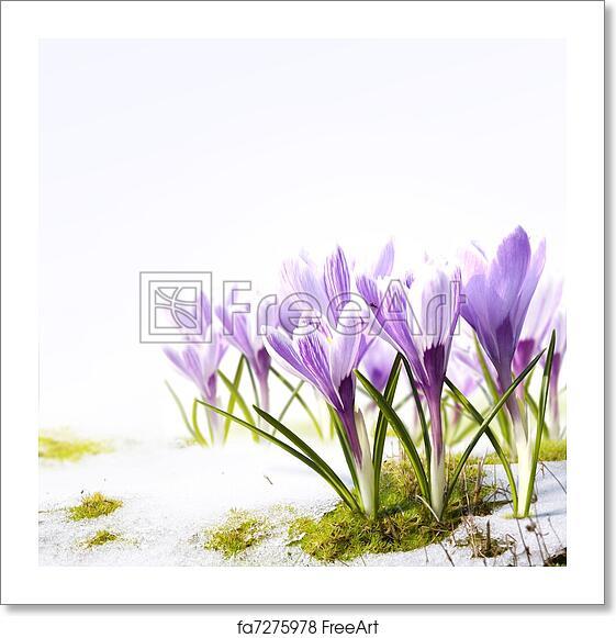 Free Art Print Of Art Crocus Flowers In The Snow Thaw Crocus