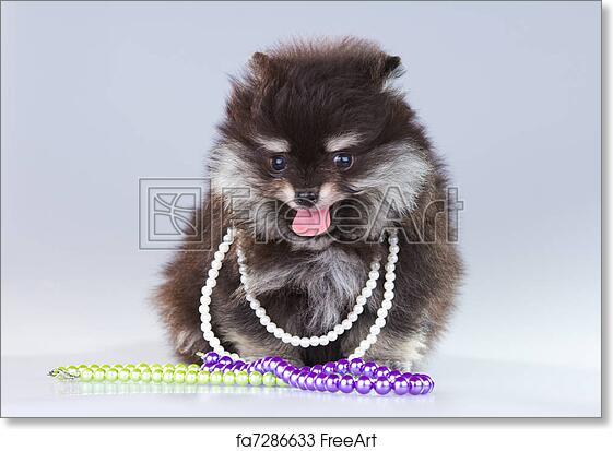 Free Art Print Of Pomeranian Puppy Little Fluffy Pomeranian Puppy
