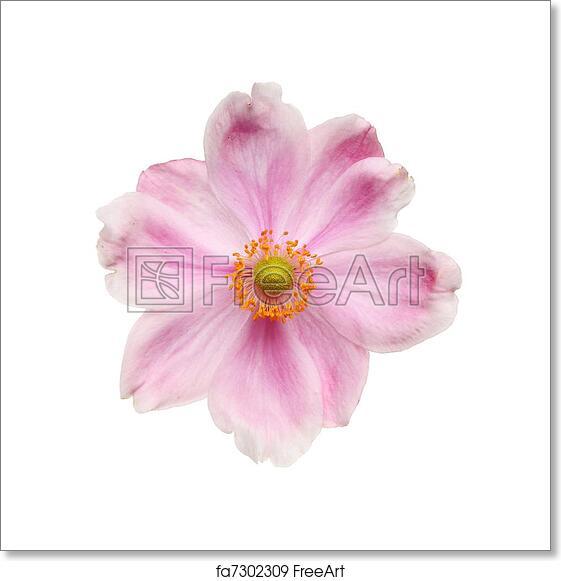Free art print of anemone flower japanese anemone flower isolated free art print of anemone flower mightylinksfo