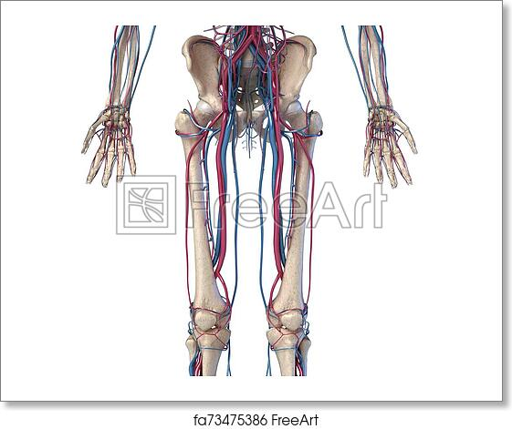 Free Art Print Of Human Body Anatomy Hip Legs And Hands Skeleton With Veins And Arteries Front View Freeart Fa73475386