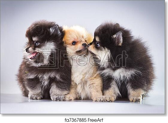 Free Art Print Of Pomeranian Puppies Three Fluffy Pomeranian